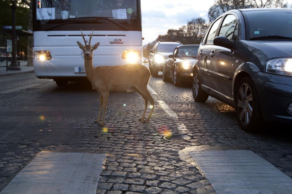 авария с животным